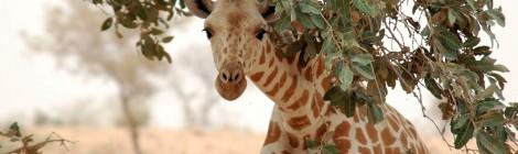 Sauvons les girafes du Tondikandia